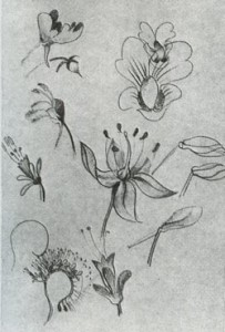 Наброски цветов и растений. Карандаш, акварель.